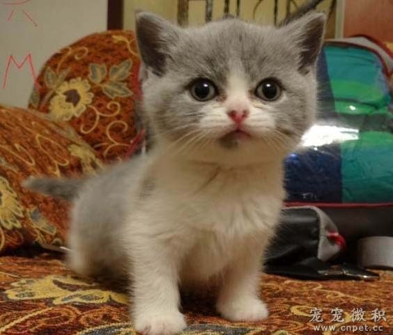 家养小宠:超萌英短蓝猫,4月10日才生下一窝小可爱,有蓝白双色和纯蓝色(共六只),有弟弟也有妹妹,现在接受预定,定金:1000!(全部立耳,无折耳基因!蓝白双色的弟弟和妹妹八字超正,这样的品相市场上很少)!猫妈妈是繁殖级的猫,不是市场上那些宠物级别的猫咪(猫从低级到高级分为三个级别:宠物级、繁殖级、赛级),由于每一只的长相和性别不同,所以价格会有一定的区别,先定价如下: 老大妹妹:(已定出) 老二妹妹:(已定出) 老三弟弟:(已定出) 老四弟弟:(已定出) 老五弟弟:等待买家 老六妹妹:等待买家 以上的价